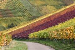 De herfstlandschap met wijngaarden en wijndruiven Stock Foto's