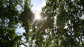 De herfstlandschap van het berkehout, zonlicht achter berkboom De zon stock video