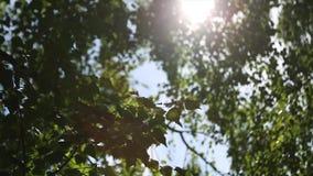 De herfstlandschap van het berkehout, zonlicht achter berkboom De zon achter berk Berkbladeren Lengte van berk stock video