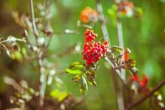 De herfstlijsterbes met rode bessen en kleurrijke bladeren Stock Foto's