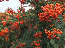 De herfstlijsterbes met rode bessen en kleurrijke bladeren Selectieve nadruk De takken van de lijsterbes die met mooie rode besse Royalty-vrije Stock Fotografie