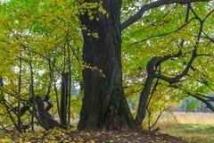 De herfstmening van een mooi eiken bosje met een mengsel van esp en berklindebomen De Indische zomer stock foto