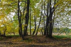 De herfstmening van een mooi eiken bosje met een mengsel van esp en berklindebomen De Indische zomer stock afbeeldingen