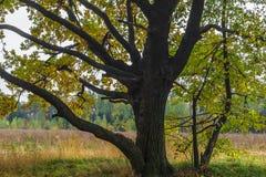 De herfstmening van een mooi eiken bosje met een mengsel van esp en berklindebomen De Indische zomer royalty-vrije stock foto's