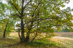 De herfstmening van een mooi eiken bosje met een mengsel van esp en berklindebomen De Indische zomer royalty-vrije stock foto