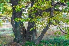 De herfstmening van een mooi eiken bosje met een mengsel van esp en berklindebomen De Indische zomer royalty-vrije stock afbeelding