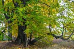 De herfstmening van een mooi eiken bosje met een mengsel van esp en berklindebomen De Indische zomer stock fotografie