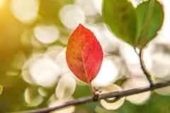 De herfstmening van rode bladgloed in zon op vage groenachtergrond in tuin of park Royalty-vrije Stock Foto's