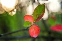 De herfstmening van rode bladgloed in zon op vage groenachtergrond in tuin of park Stock Afbeeldingen