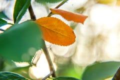 De herfstmening van rode bladgloed in zon op vage groenachtergrond in tuin of park Stock Foto's