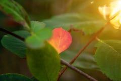 De herfstmening van rode bladgloed in zon op vage groenachtergrond in tuin of park Royalty-vrije Stock Fotografie
