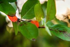 De herfstmening van rode bladgloed in zon op vage groenachtergrond in tuin of park Royalty-vrije Stock Afbeeldingen