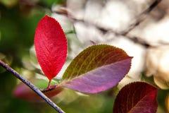 De herfstmening van rode bladgloed in zon op vage groenachtergrond in tuin of park Stock Foto