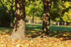 De herfstochtend in park met esdoornbomen Stock Fotografie