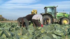 De herfstoogst van kool op een landbouwbedrijfgebied stock footage