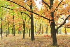 De herfstpark met eiken en esdoorns in gele bomen Stock Afbeeldingen
