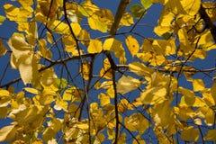 De herfstpark, zonnige iepbladeren op een achtergrond van heldere blauwe hemel Royalty-vrije Stock Fotografie