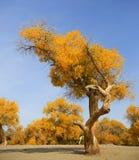 De herfstpopulus in China stock foto