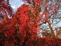 De herfstscène met rode bladeren Stock Afbeeldingen