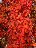 De herfstscène met rode bladeren Stock Foto