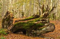 De herfstscène, logboek die bij bos met heel wat gevallen rond bladeren openen, Radocelo-berg Royalty-vrije Stock Foto's