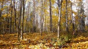 De herfstseizoen in bos stock videobeelden