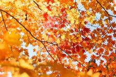 De herfstseizoen van boom en bladeren stock fotografie