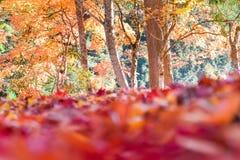 De herfstseizoen van boom en bladeren royalty-vrije stock afbeeldingen