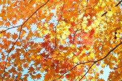 De herfstseizoen van boom en bladeren royalty-vrije stock fotografie
