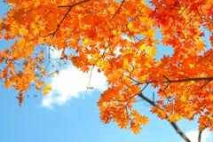 De herfstseizoen van boom en bladeren royalty-vrije stock afbeelding