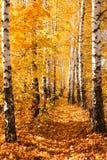 De herfststeeg van de berk Royalty-vrije Stock Afbeelding