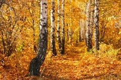 De herfststeeg van de berk. Stock Fotografie
