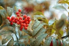 De herfststilleven van rode lijsterbes na regen royalty-vrije stock foto's
