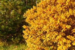 De herfststruik Stock Fotografie