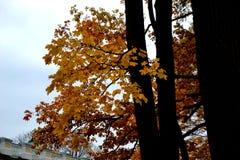 De herfsttak met gele bladeren Royalty-vrije Stock Afbeelding