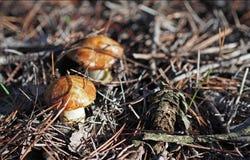 De herfsttijd: kleine gladde hefbomen (Suillus-luteus) paddestoelen in het pijnboombos, Spanje stock afbeeldingen