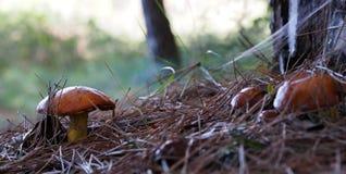 De herfsttijd: kleine gladde hefbomen (Suillus-luteus) paddestoelen in het pijnboombos, Spanje stock afbeelding