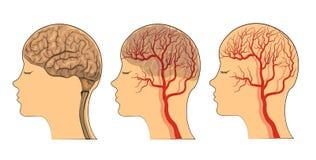 De hersenen, de schepen van de hersenen stock illustratie