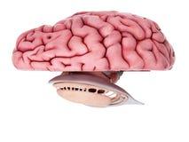 De hersenenanatomie royalty-vrije illustratie