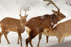 De herten de borst gevende baby van Yezosika in sneeuwscène stock afbeeldingen