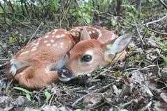 De herten die van de baby whitetail fawn in het bos leggen Royalty-vrije Stock Fotografie
