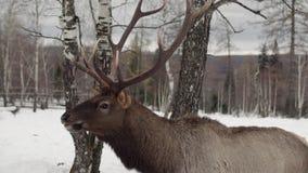 De herten eten in het de winterbos stock videobeelden