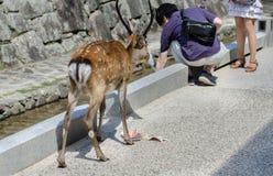 De herten eten toeristenkaart bij Miyajima-eilandstraat stock afbeelding
