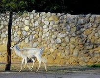 De herten hebben lange hoorn etend gras in dierentuin stock fotografie