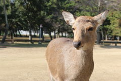De herten leefden vrij in Nara Japan Stock Foto