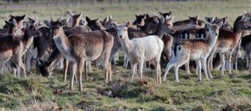 De herten, slechts een wit hert royalty-vrije stock fotografie
