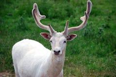De herten van de albino Stock Afbeelding