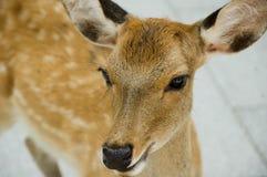 De Herten van de damhinde sluiten omhoog in Nara Japan Stock Afbeeldingen