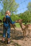 De herten van de kindervoeding door omheining Stock Foto's