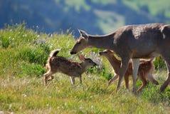 De herten van de moeder en fawns in de wildernis Stock Foto